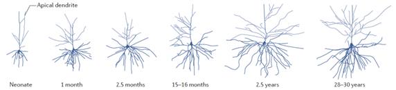 Toename en afname van neuronale verbindingen in een stukje cortex.